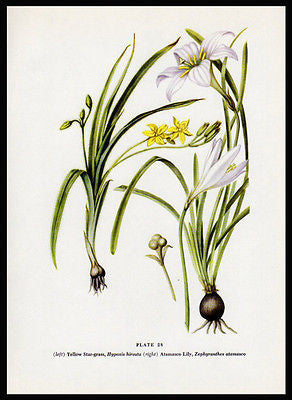Botanical Print Atamasco Lily Star Grass Botanical Print 1954 E. Farrington Johnston Plate 28 - Paperink Graphics