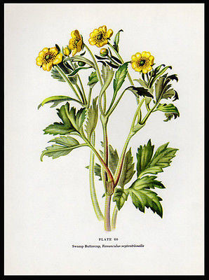 1954 Edith F. Johnston Botanical Print Swamp Buttercup Botanical Flower Print