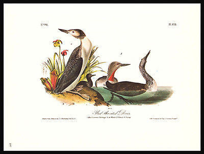 1979 Audubon Bird Print Red Throated Diver Young Audubon