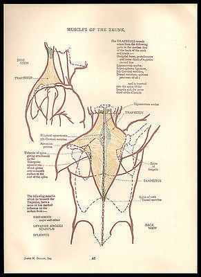 Anatomy Trunk Muscles Back Illustration Anatomical Diagrams 1924