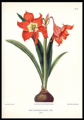 Amaryllis Botanical Bury Print Gordon Dunthorne 1938 - Paperink Graphics