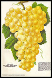 Antique Fruit Print White Grape Bunch Moore's Diamond 1912 Stecher Rochester Litho NY Print - Paperink Graphics