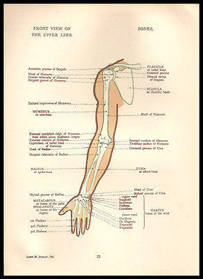 Anatomy Print Arm Upper Limb Front View Diagrams 1924
