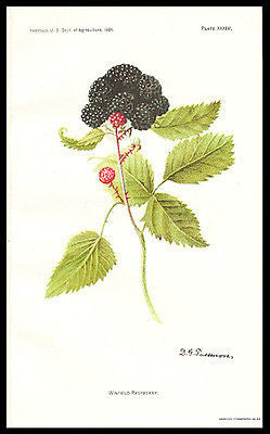 Antique Botanical Print Winfield Raspberry Litho 1909 D. G. Passmore Art - Paperink Graphics