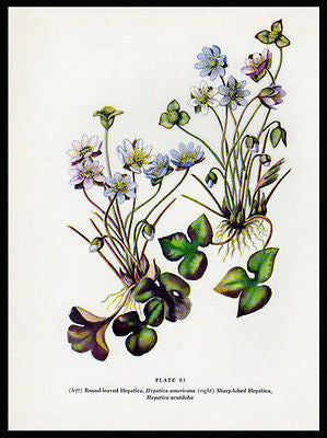 Hepatica Round Sharp Botanical Flower Print 1954 Edith F. Johnston Plate 61 - Paperink Graphics
