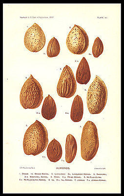 Almonds Botanical Print Varieties 1897 Lithograph D. G. Passmore - Paperink Graphics
