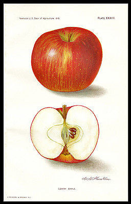 Lowry Apple Lithograph 1910 Artist A.A. Newton Botanical Print - Paperink Graphics