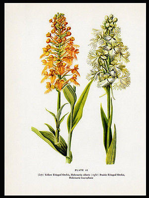 1954 Edith F. Johnston Vintage Botanical PrintPairie Fringed Orchis Yellow