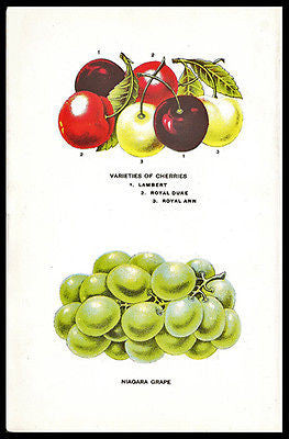 1912 Print Niagara Grape Cherries Varieties Lambert Royal Duke Ann Art Print
