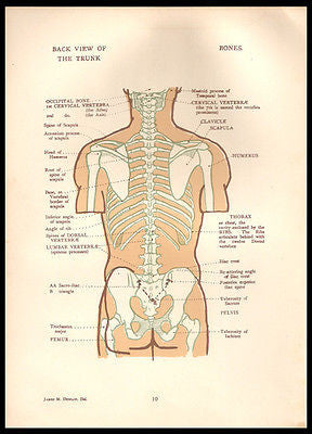 Antique Anatomy 1924 Trunk Back View Illustration Anatomical Diagram