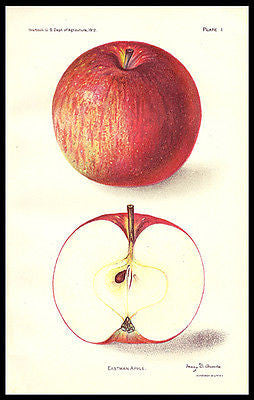 Antique Botanical Print Eastman Apple 1912 Lithograph Mary D. Arnold - Paperink Graphics