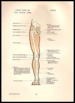 Anatomy Illustration Mixed Media Supply 1924 Leg Lower Limb Front View