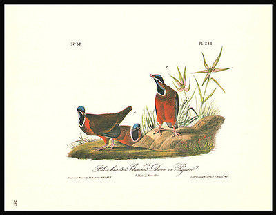 Bird Print 1979 Blueheaded Ground Dove or Pigeon Audubon