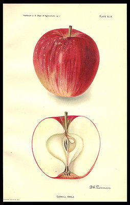 Antique Botanical Print Cornell Apple 1911 Lithograph Artist D. G. Passmore - Paperink Graphics