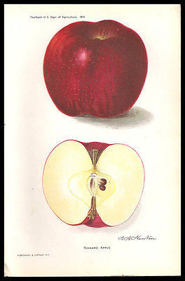 Antique Fruit Print Kinnard Apple 1910 Lithograph A.A. Newton Botanical Print - Paperink Graphics