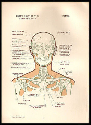 Anatomy Head Neck Front View Diagrams 1924