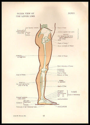 Anatomical Diagrams 1924 Leg Lower Limb Outer View Anatomy