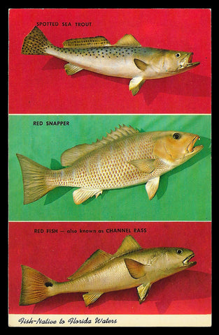 Fish Florida Native Postcard Florida Sea Trout Red Snapper Red Fish FL PC