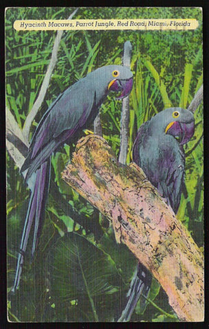 Hyacinth Macaws Postcard 1952 Miami Florida Parrot Jungle