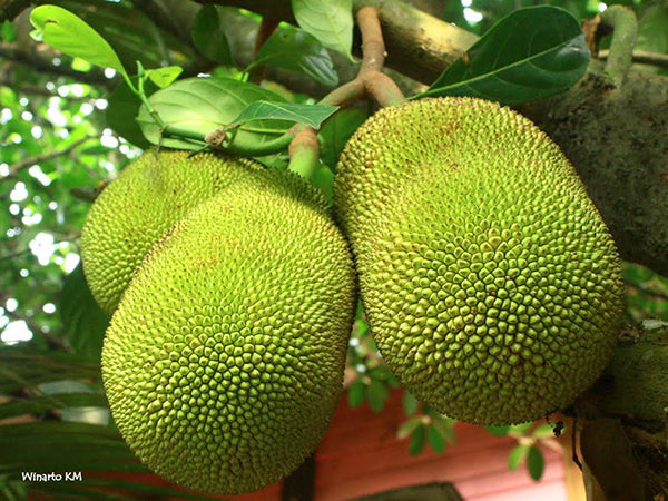 Jackfruit growing on a tree