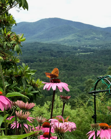 echinacea mountain butterfly