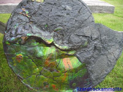 Ammonite Fossil encased in Ammolite
