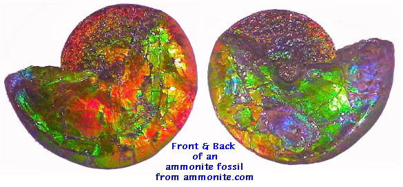 Ammonite Fossil Shell with Ammolite