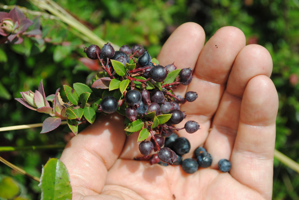 Wild Andean Blueberry, organic, mortino