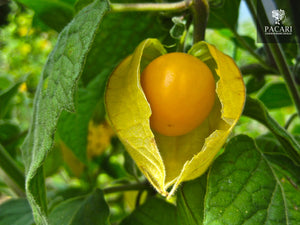 Golden Berries, Physalis