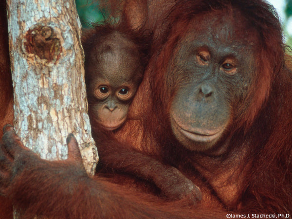 Orangutan Family Forest