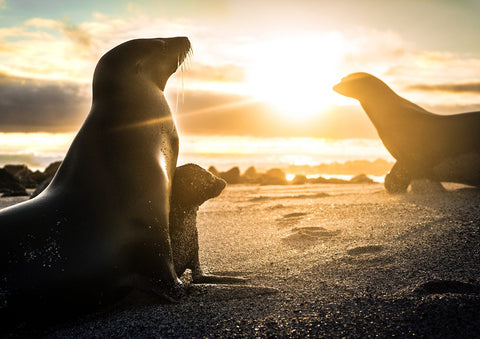 Seals during sunset in Galapagos 29.7 x 42.0 cm print