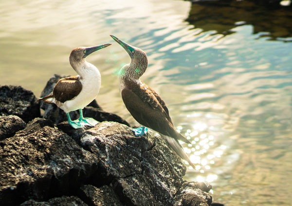 Blue footed boobies in Galapagos 29.7 x 42.0 cm print