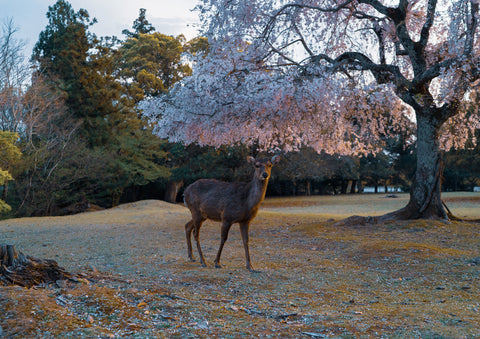 Japan deer in cherry blossom 29.7 x 42.0 cm print