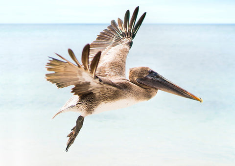 Galapagos Brown Pelican in flight 29.7 x 42.0 cm print