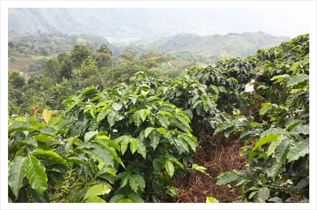 Colombia coffee growing region of Tolima