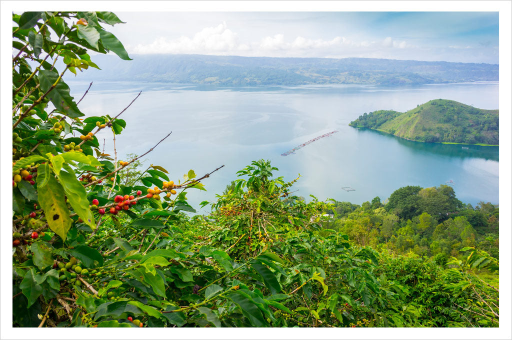 Coffee growing on the shores of Lake Toba, Sumatra