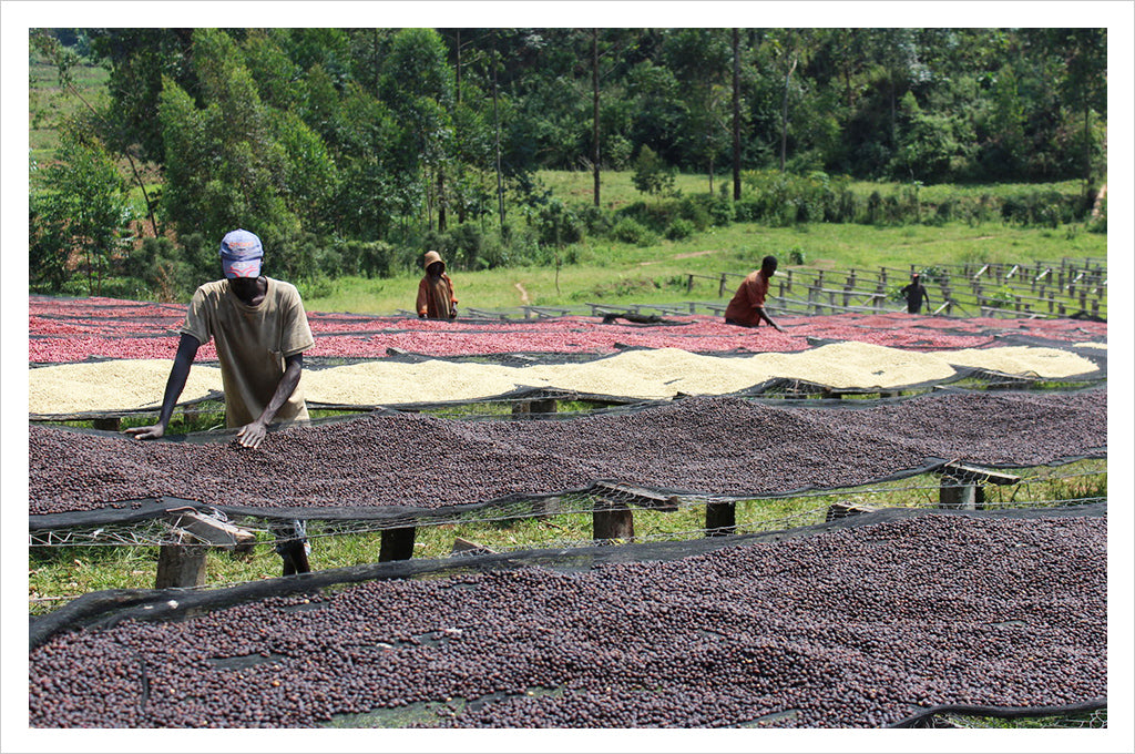 Burundi Masha Single Origin Coffee - the Cupping room collection at Caffe Umbria