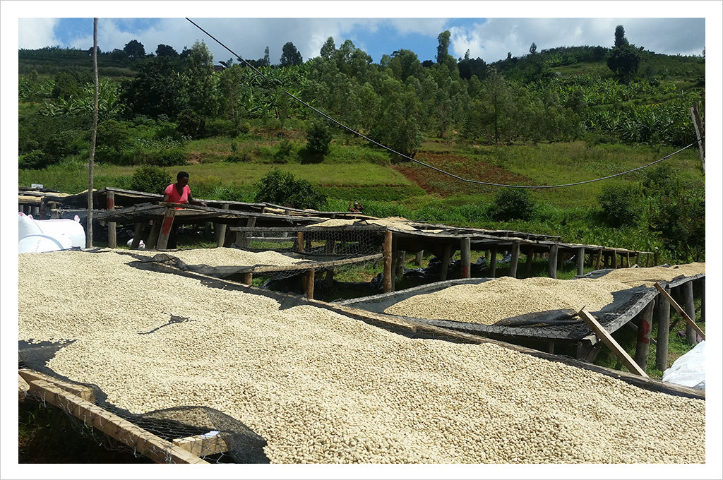 Rwanda Sholi Women Produced Microlot cupping room collection