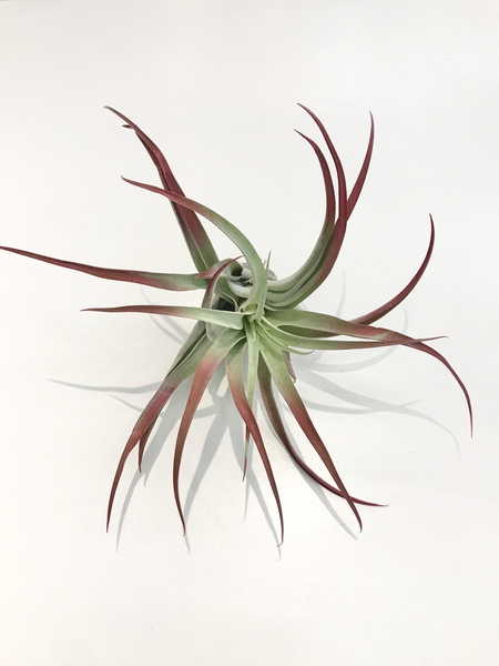 Airplant, Various Species