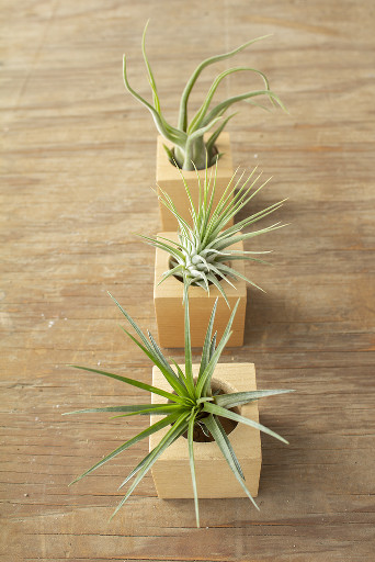 Wood Cube Airplant Holder