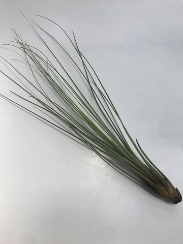 Airplant, Tall Grass