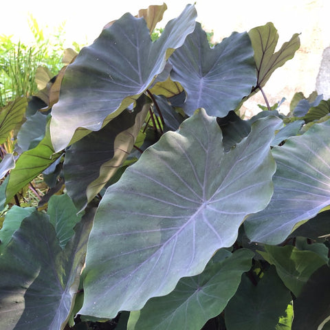 "Taro ""Black Magic"" (Colocasia sp.)"