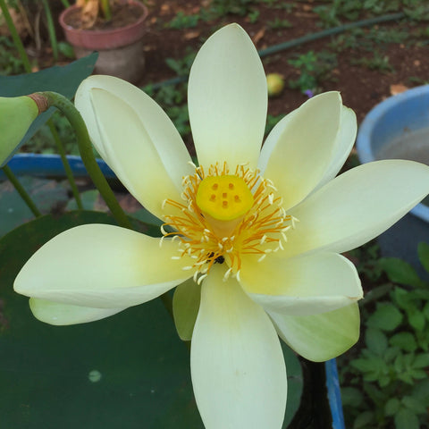 "Flor de loto ""High Noon"" Nelumbo Nucifera"