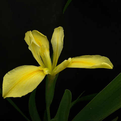 Iris Louisiana Amarillo Simple