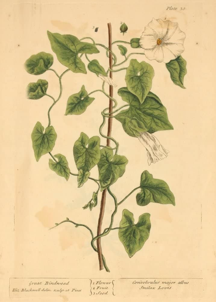 Vintage Plant Anatomy and Morphology 'Great Bindweed', from 'A Curious Herbal', Elizabeth Blackwell, England, 1737-1739, Reproduction 200gsm A3 Vintage Poster