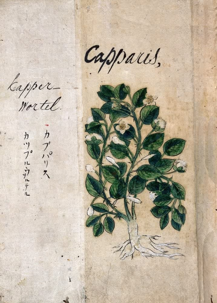 Vintage Plant Anatomy and Morphology 'Caper. Flinders Rose. Capparis Spinosa', from 'A Japanese Herbal', Japan, 17th Century, Reproduction 200gsm A3 Vintage Poster