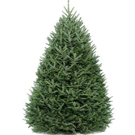 7' Fresh-Cut Frasier Fir Feels Like Home with Multi-Color Lights - Real Tree Christmas Tree Package - 7' real Christmas tree package with lights, ornaments, skirt, star and tinsel - Rent-A-Christmas