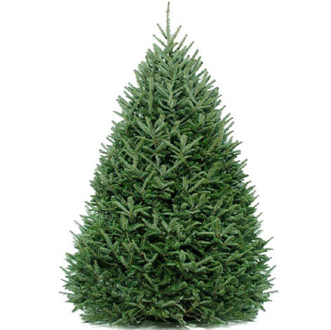 Real 8' Frasier Fir Feels Like Home with White Lights - Real Tree Christmas Tree Package - 8' real Christmas tree package with lights, ornaments, skirt, star and tinsel - Rent-A-Christmas