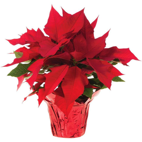 Real Red Poinsettia - Real Red Poinsettia - Rent-A-Christmas - Rent-A-Christmas