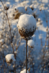 snow on seed head